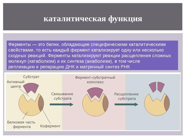 каталитическая функция Ферменты— это белки, обладающие специфическими катали...