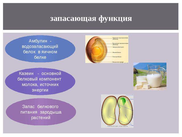 запасающая функция Амбулин - водозапасающий белок в яичном белке Казеин - осн...