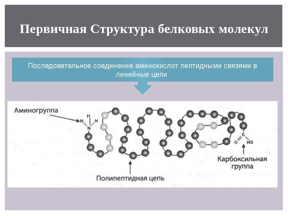 Первичная Структура белковых молекул Последовательное соединение аминокислот...