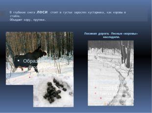 В глубокие снега лоси стоят в густых зарослях кустарника, как коровы в стойле