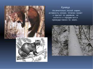 Куница Исключительно лесной хищник, активность ночная. Отлично лазает и прыг