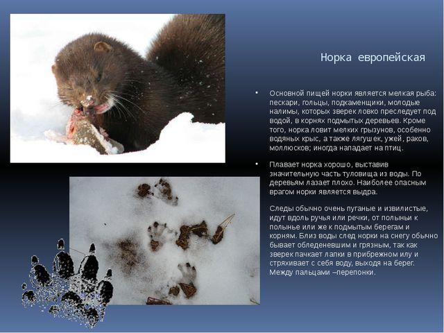 Норка европейская  Основной пищей норки является мелкая рыба: пескари, голь...