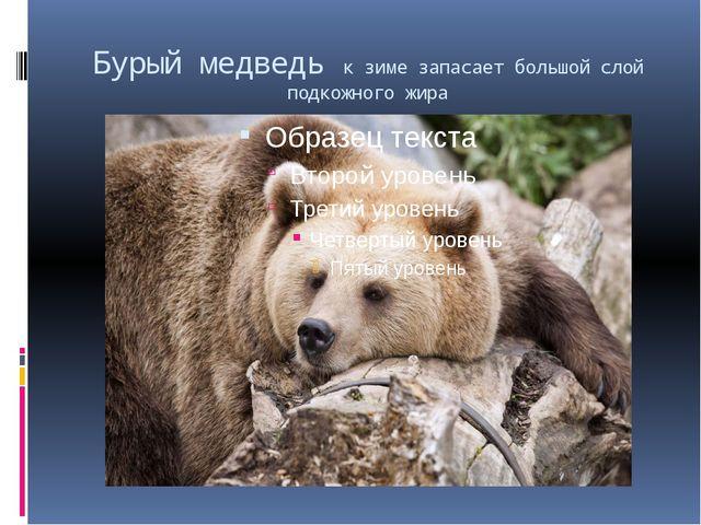 Бурый медведь к зиме запасает большой слой подкожного жира