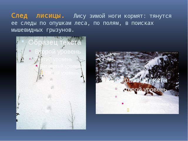 След лисицы. Лису зимой ноги кормят: тянутся ее следы по опушкам леса, по пол...