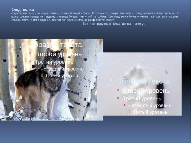 След волка Следы волка похожи на следы собаки, только большой собаки. В отли...