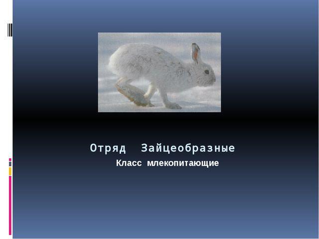 Отряд Зайцеобразные Класс млекопитающие