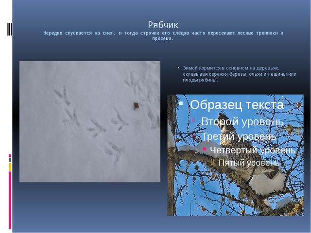 Рябчик Нередко спускается на снег, и тогда строчки его следов часто пересекаю...