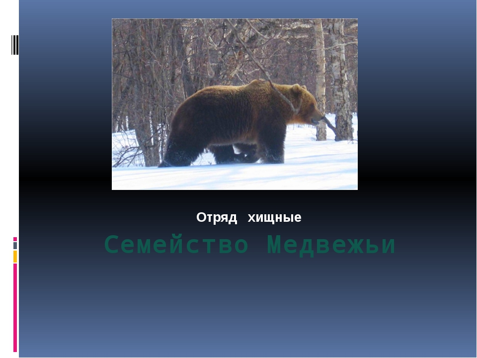 Семейство Медвежьи Отряд хищные