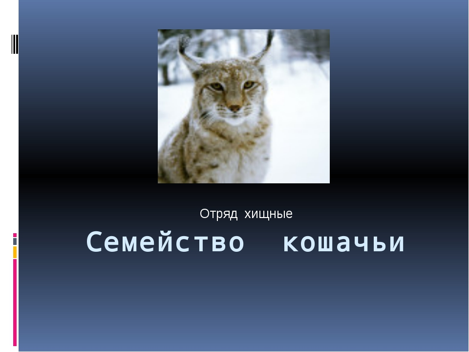 Семейство кошачьи Отряд хищные