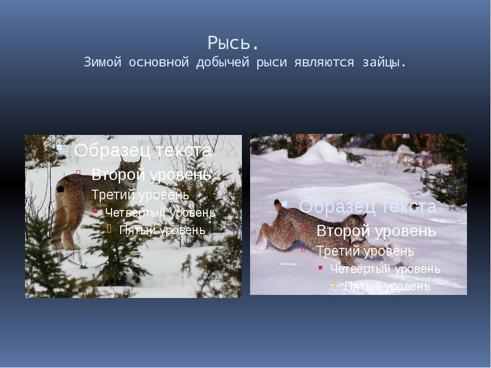 Рысь. Зимой основной добычей рыси являются зайцы.