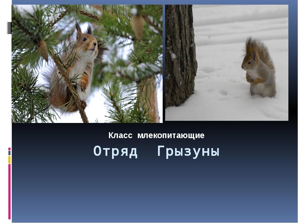 Отряд Грызуны Класс млекопитающие