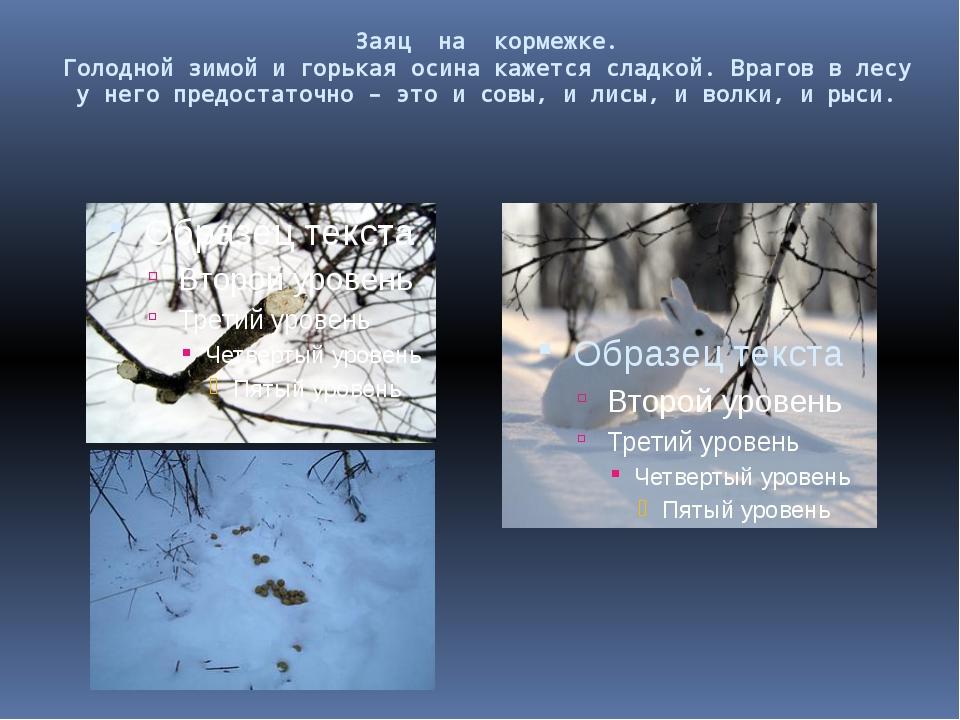 Заяц на кормежке. Голодной зимой и горькая осина кажется сладкой. Врагов в ле...