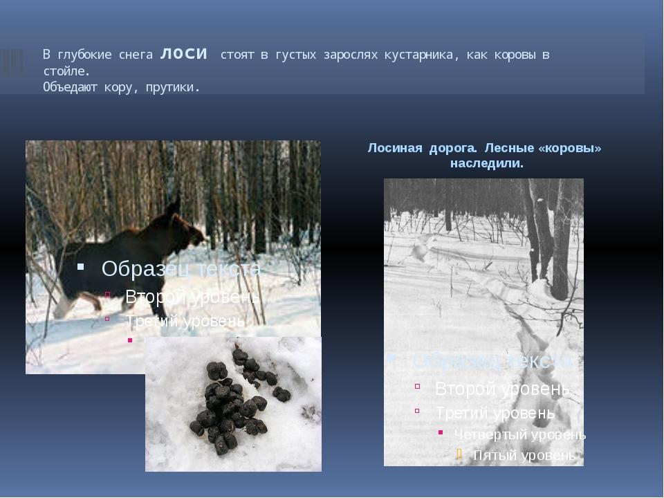 В глубокие снега лоси стоят в густых зарослях кустарника, как коровы в стойле...