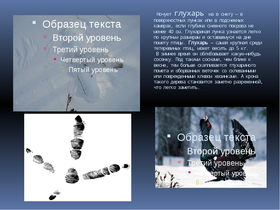 Ночует глухарь на в снегу — в поверхностных лунках или в подснежных камерах,...