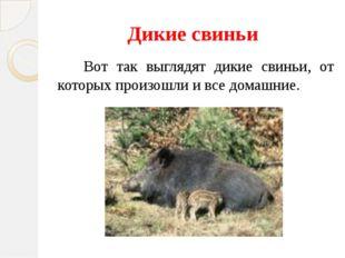 Дикие свиньи Вот так выглядят дикие свиньи, от которых произошли и все домашн