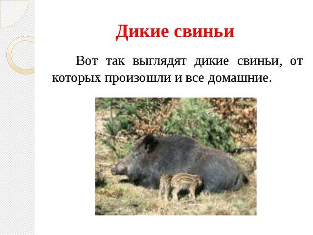 Дикие свиньи Вот так выглядят дикие свиньи, от которых произошли и все домашн...