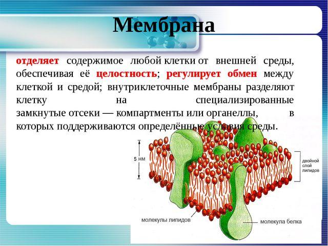 Мембрана отделяет содержимое любойклеткиот внешней среды, обеспечивая её це...