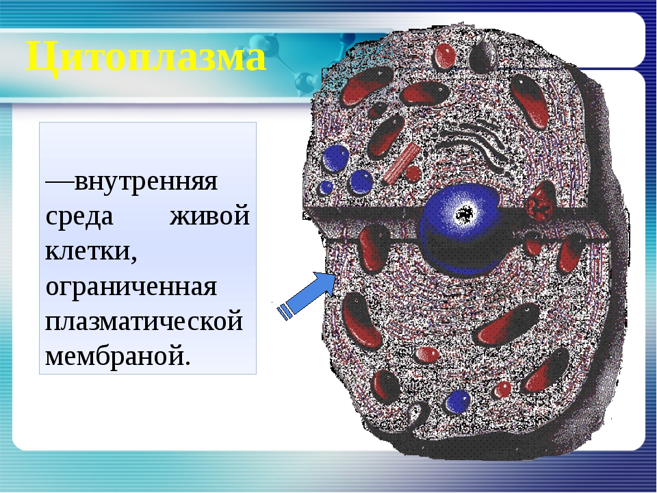 картинки цитоплазма клетки компонентом состава является