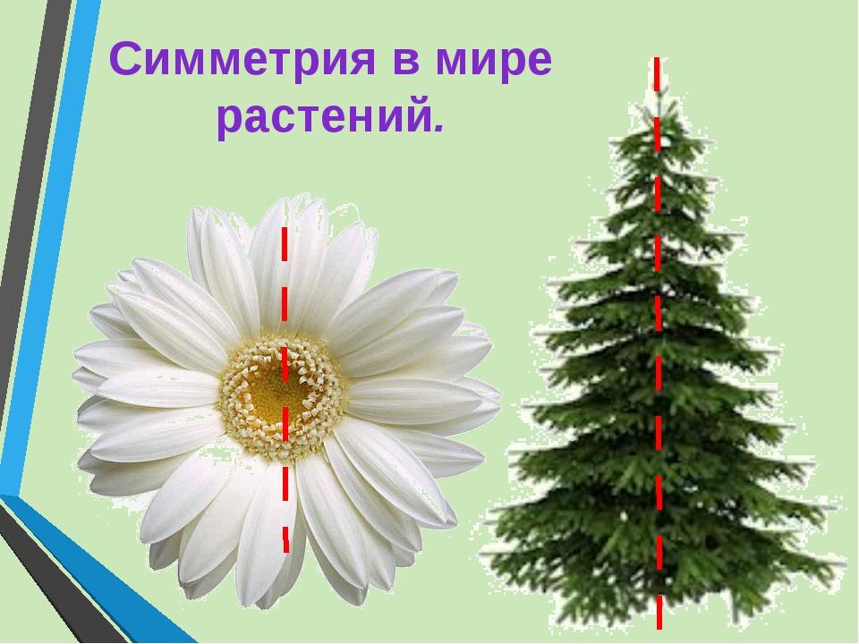 Симметрия в мире растений.