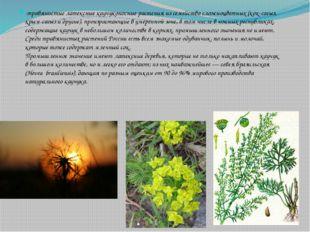-травянистые латексные каучуконосные растения из семейства сложноцветных (кок