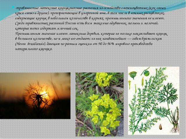 -травянистые латексные каучуконосные растения из семейства сложноцветных (кок...