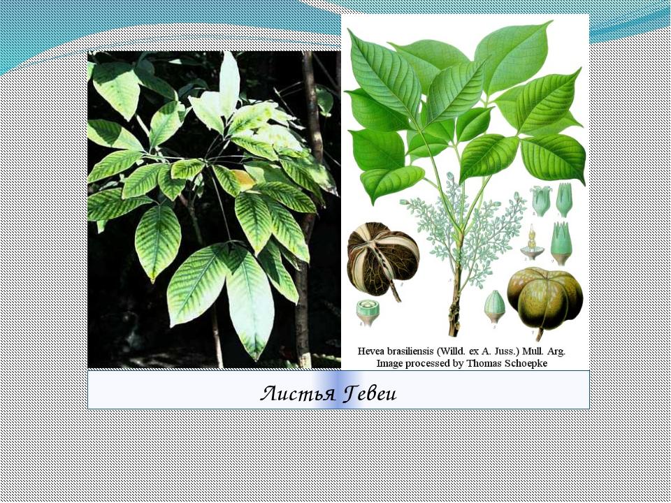 Листья Гевеи