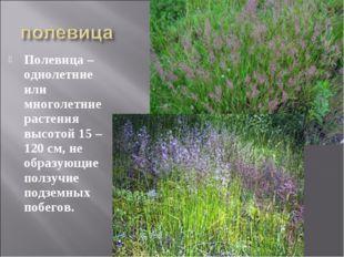 Полевица – однолетние или многолетние растения высотой 15 – 120 см, не образу