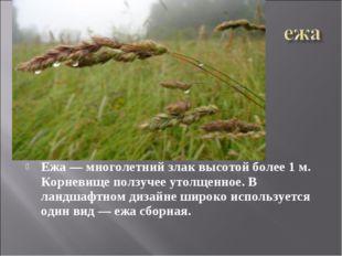 Ежа — многолетний злак высотой более 1 м. Корневище ползучее утолщенное.В ла