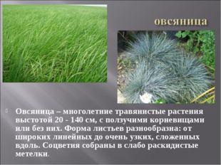Овсяница – многолетние травянистые растения выстотой 20 - 140 см, с ползучими