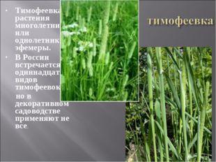 Тимофеевка – растения многолетние или однолетники-эфемеры. В России встречает