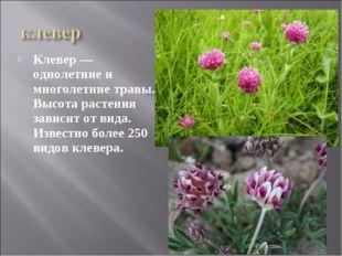 Клевер — однолетние и многолетние травы. Высота растения зависит от вида. Изв