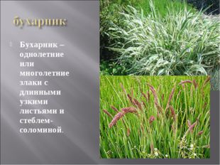 Бухарник – однолетние или многолетние злаки с длинными узкими листьями и стеб