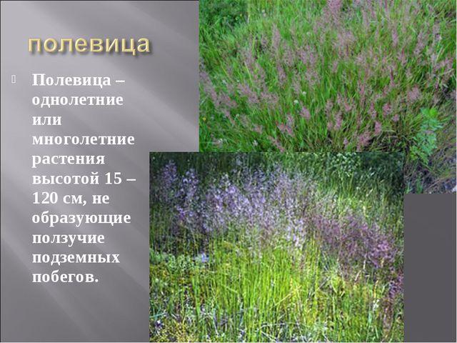 Полевица – однолетние или многолетние растения высотой 15 – 120 см, не образу...