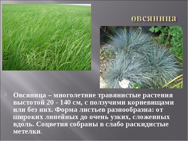 Овсяница – многолетние травянистые растения выстотой 20 - 140 см, с ползучими...