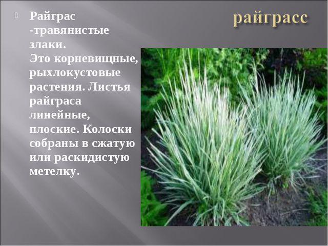 Райграс -травянистые злаки. Этокорневищные, рыхлокустовые растения. Листья р...