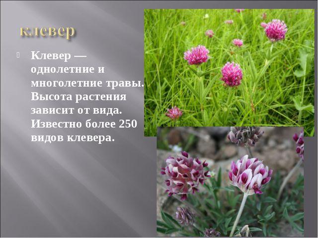 Клевер — однолетние и многолетние травы. Высота растения зависит от вида. Изв...