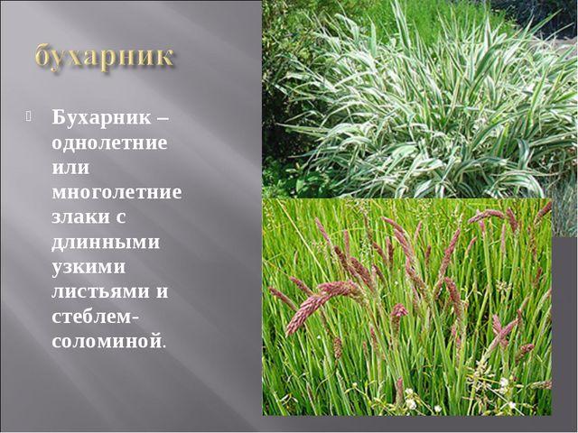 Бухарник – однолетние или многолетние злаки с длинными узкими листьями и стеб...