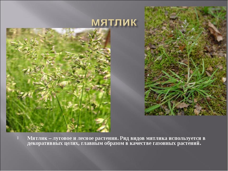 Мятлик – луговое и лесное растения. Ряд видов мятлика используется в декорати...