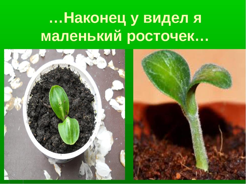 …Наконец у видел я маленький росточек…