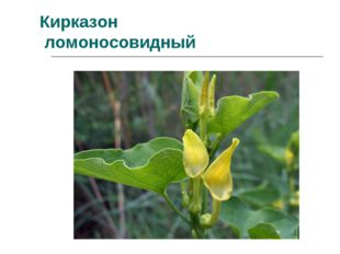 Кирказон ломоносовидный