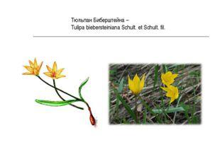 Тюльпан Биберштейна – Tulipa biebersteiniana Schult. et Schult. fil.