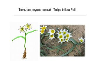 Тюльпан двуцветковый - Tulipa biflora Pall.
