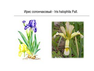 Ирис солончаковый - Iris halophila Pall.