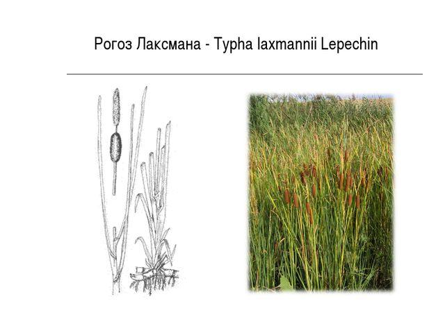 Рогоз Лаксмана - Typha laxmannii Lepechin