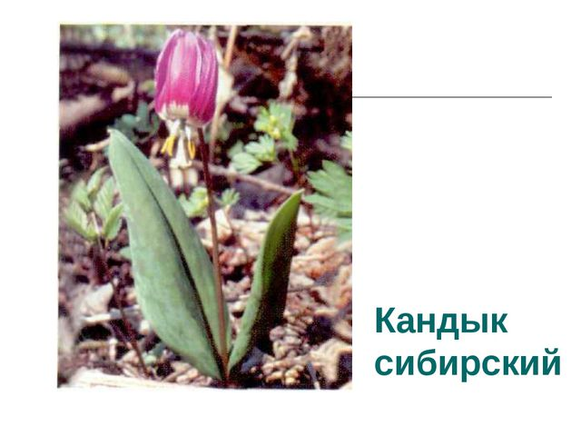 Кандык сибирский