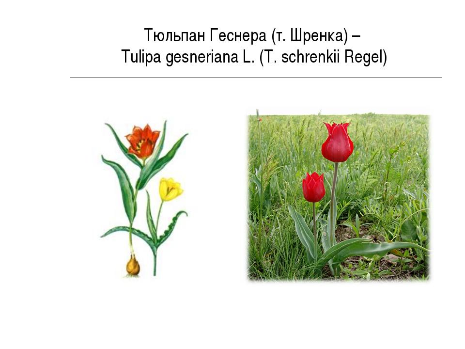 Тюльпан Геснера (т. Шренка) – Tulipa gesneriana L. (T. schrenkii Regel)
