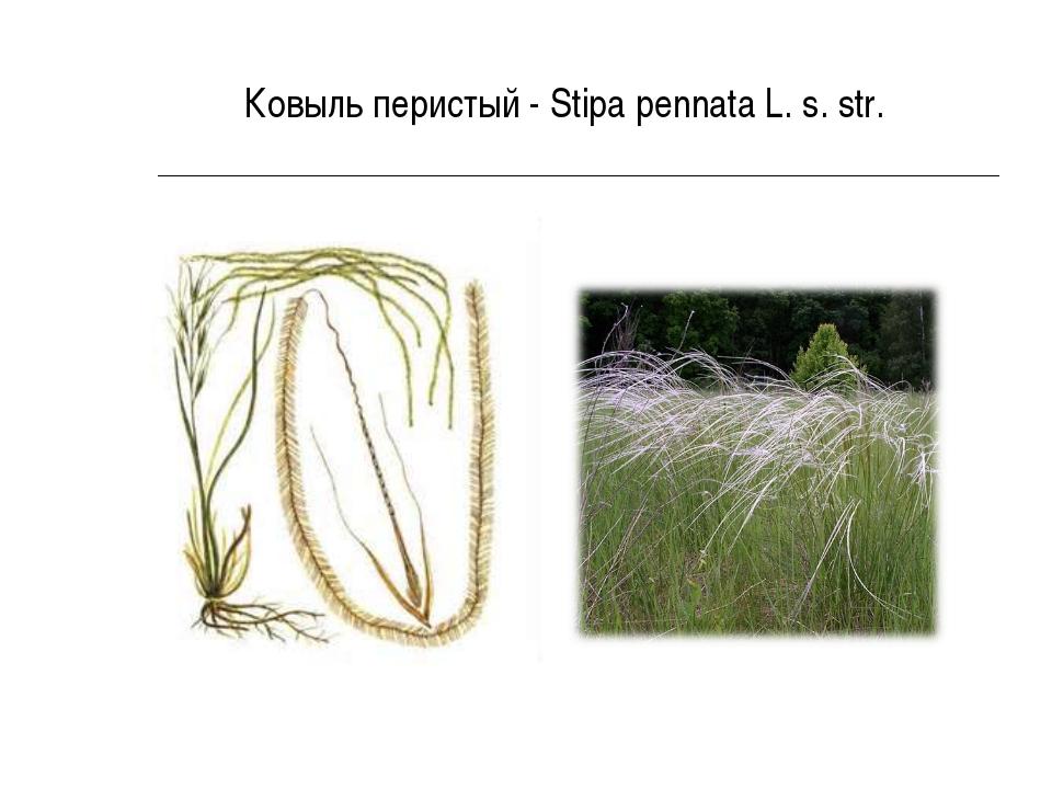 Ковыль перистый - Stipa pennata L. s. str.