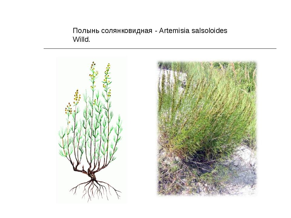 Полынь солянковидная - Artemisia salsoloides Willd.