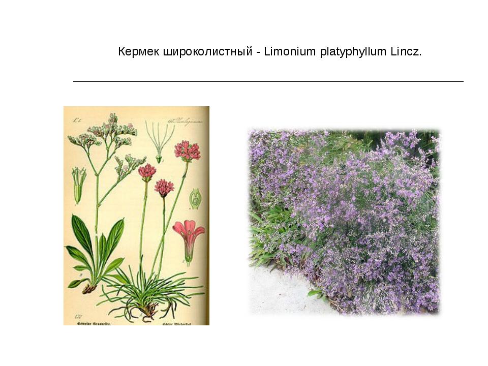Кермек широколистный - Limonium platyphyllum Lincz.