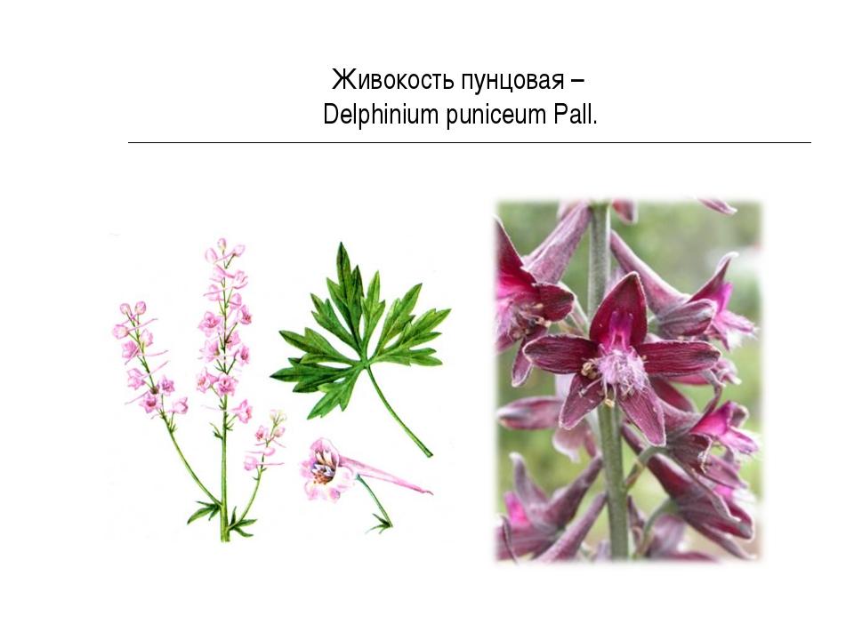 Живокость пунцовая – Delphinium puniceum Pall.
